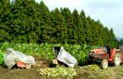 サトイモ畑