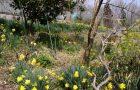 果樹園裏の水仙
